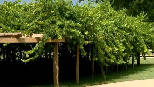 """美国""""最古老""""的葡萄树,每年高产7吨葡萄,已有176年树龄!"""