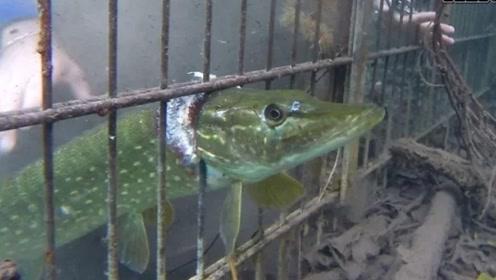 这条俄罗斯白斑狗鱼有着战斗民族同样彪悍的性格