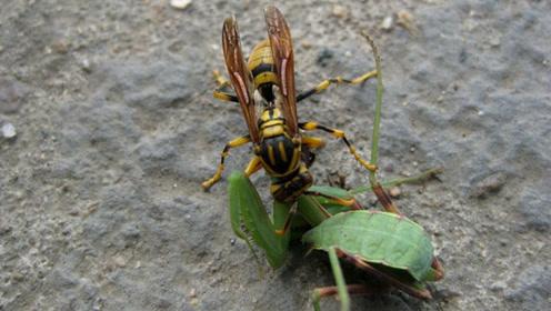 当螳螂遇上马蜂,那两只大钳子也起不了作用,只有认命的份
