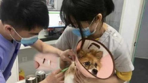 狗狗也有身份证啦!杭州推犬只芯片免费植入,能防盗养防走失