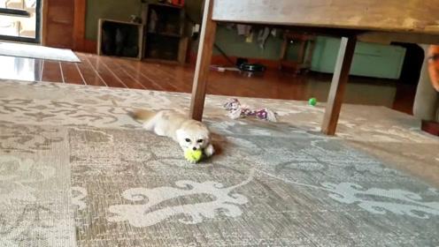 主人给狐狸准备了玩具球,狐狸见后太激动,笑得主人肚子痛!