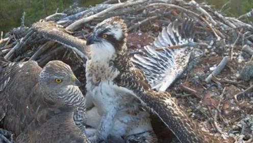 鹰妈妈外出捕食,殊不知家里已遭遇不幸,镜头拍下全过程