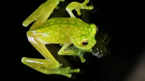 热带雨林中发现玻璃青蛙,肚皮完全透明,消化系统一览无余