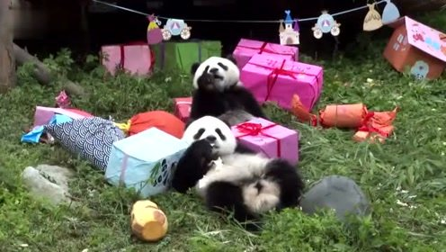 吃蛋糕,抢玩具,还卖萌!18只大熊猫宝宝集体庆生