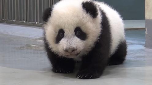 熊猫宝宝越狱,趁着妈妈没注意快跑,怎么又被抓回来了