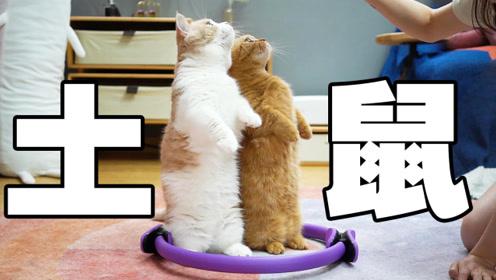 地上放个圈看猫反应?说出来你可能不信,猫是土拨鼠变的