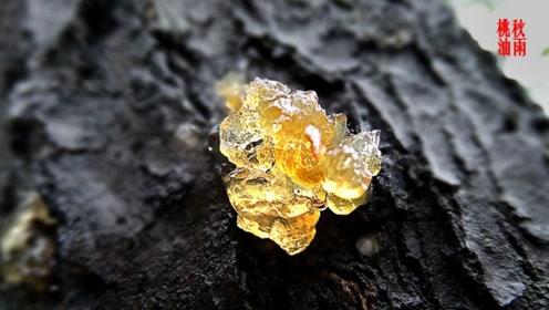 补品桃胶,原来是桃树的病害的后果,成分也没有那么神奇!