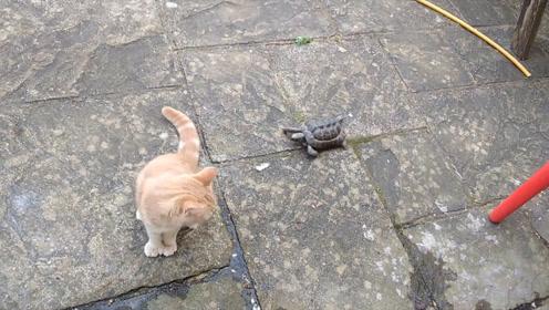 乌龟能走多快?小伙子把放在跑步机上,结果吓一跳