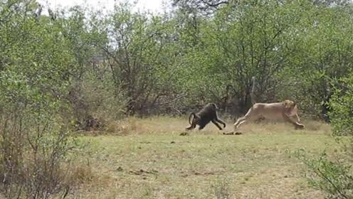 狮子遇上了狒狒,结果惨遭狒狒吊打,狮子:大哥我错了