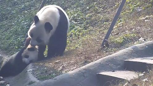 熊猫妈妈将宝宝推到沟里,突然想起娃是亲生的,神反转太可爱了!