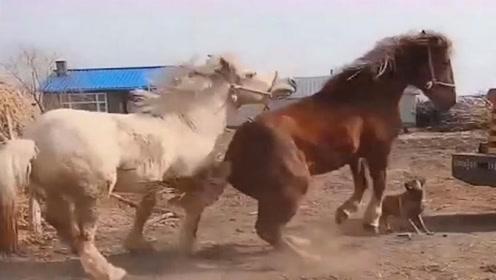 红鬃马-姑娘我不喜欢你,你别追了!不然我会生气的哦!
