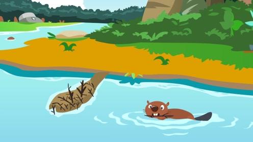 河狸为什么要筑坝?