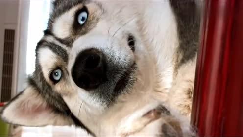 二哈宠上天,眼里看的是小哈士奇,不料被狗妈妈实力抢镜!