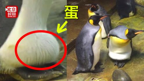 再也不用孵石头!德国同性企鹅情侣领养遭遗弃的蛋 有望升级父母
