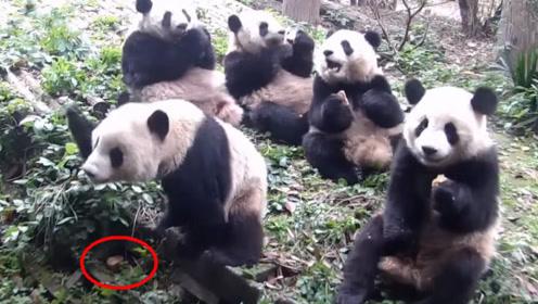 饲养员给大熊猫发月饼,结果二货一直找不到,接下来请憋住别笑!