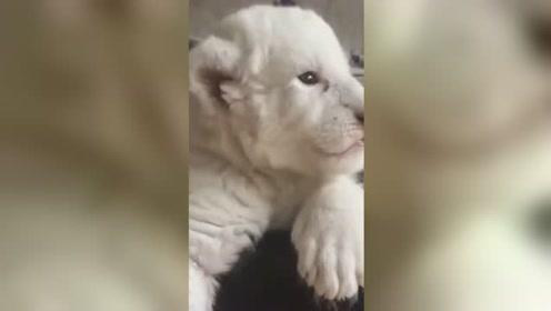 法国濒危白狮幼崽取名辛巴娜娜 憨态可掬超可爱