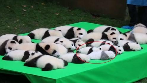 饲养员给熊猫宝宝晒太阳,其中一只惹人注意,网友:这是没墨了?