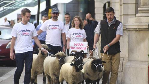 """英国农民牵羊上街抗议""""无协议脱欧"""" 硬脱欧或将致一半农场倒闭"""