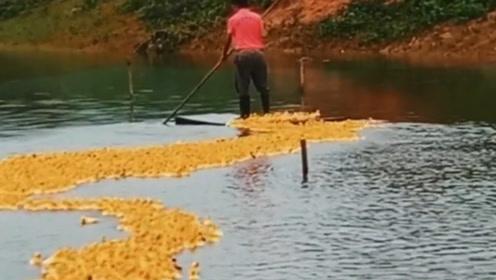 广东男子站竹筏遛鸭,5000多只小黄鸭排长队,场面壮观又呆萌