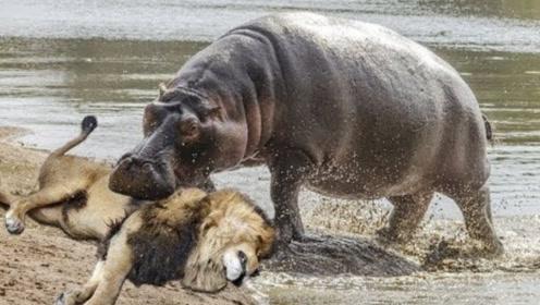 狮子的天敌竟是这种动物,平时温顺无比,但狮子看见它就溜!