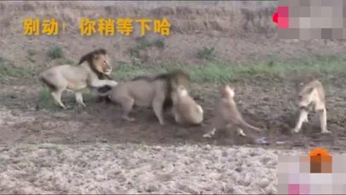 搞笑!一群狮子吃牛时起内讧打架,牛趁机爬起来跑掉了