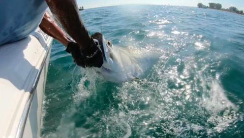 900斤重的巨型锤头鲨为抢夺猎物 和渔民激烈拔河