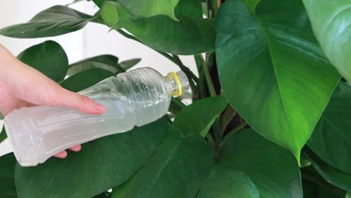 家家当废水倒掉的它,用来浇花比营养液还好,有经验花农都这样做
