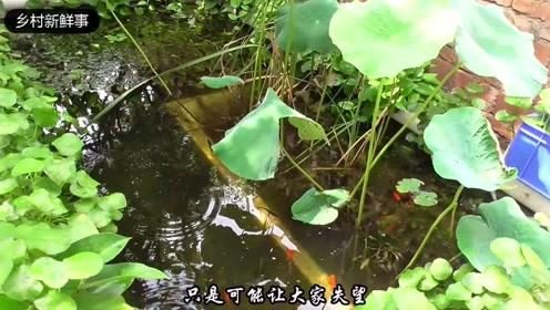 农村小伙模拟野外池塘打造的生态鱼池,不用过滤一样清澈见底!