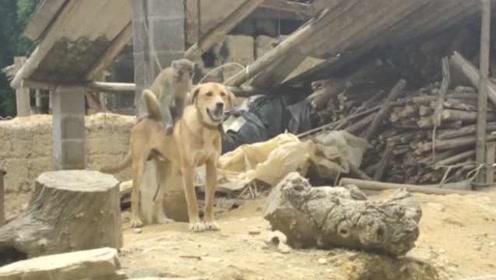 跨界友谊!野猴竟与家犬成好友,帮它挠痒梳毛,不舍离别哀嚎