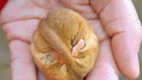 世界上最能睡的动物,一生中大半时间都在睡,晚年竟会睡到饿死