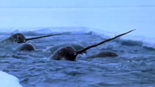 地球上最神秘的海洋动物,脑袋上长着3米的长牙,却不会用于捕猎