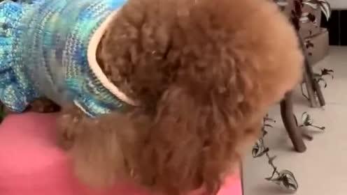 主人让泰迪米米去剪头发,泰迪米米下一幕动作,简直太逗了