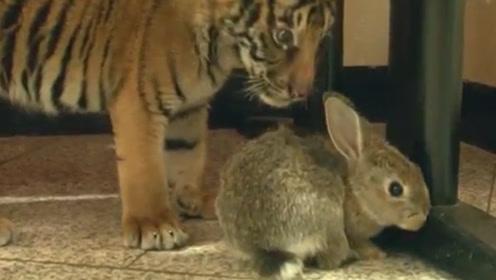 饲养员给老虎加餐,直接将兔子扔进虎笼,第二天查看时不淡定了
