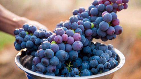 葡萄很多人喜欢吃,没想到女人吃葡萄还有这好处,真的厉害了