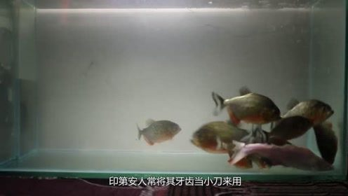 电鳗与食人鱼谁更厉害?将电鳗扔进食人鱼池中,场面吓一跳