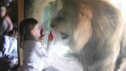 隔着玻璃亲吻,狮子会有什么反应?小女孩行动证明,镜头拍下全程