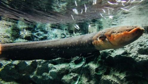 把食人鱼饿了十天后,将一条电鳗放进去,画面简直太刺激了!