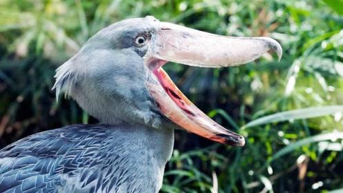 它是鳄鱼的天敌,见人就拔自己羽毛送人,完全是被自己蠢死!