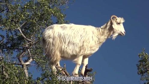 谁说羊不会上树?这个国家树上长满了羊,啃食叶子树上散步好惬意