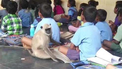 学霸猴子!印度猴子混入学校上课却遭狗咬死 学校放为其办葬礼
