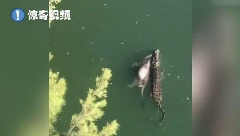航拍视频:这顿管饱!巨型鳄鱼叼着整头牛缓缓游动