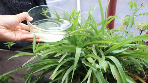 吊兰最喜欢喝这3种水,长得快又绿,1个月撑爆盆,太管用了