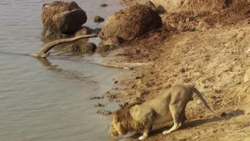 河马脾气有多暴躁?面对草原之王丝毫不惧,奋力驱赶狮子!