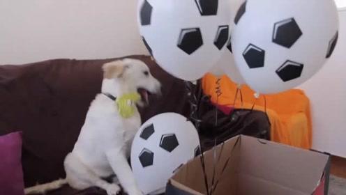 小捣蛋金毛贝利玩足球气球,要把绳子咬断,奈何牙齿不够锋利