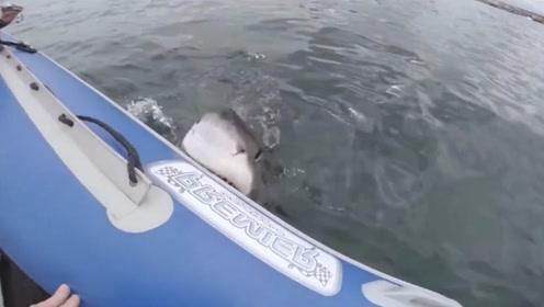 男子海里游泳偶遇鲨鱼,惊呼之间逃命上船,鲨鱼却咬着船不放