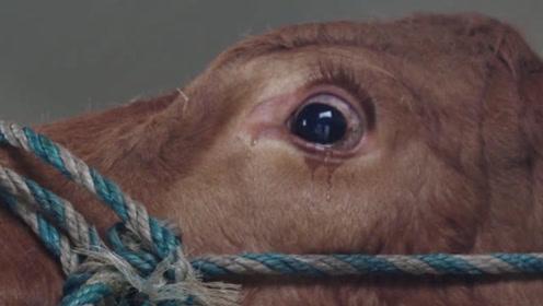 """为什么有时候牛会流眼泪?知道""""真相""""后,网友表示:太心酸了!"""