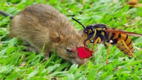 一只胆大的老鼠惹火了大马蜂,直接驾鹤西去了,镜头拍下罕见瞬间