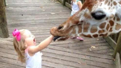 女孩动物园喂食长颈鹿,不料意外突然发生,镜头记录全过程!