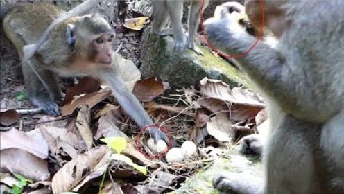 猴子偷吃科莫多巨蜥的蛋,结果被科莫多巨蜥整吞,画面太残忍