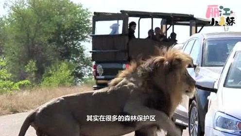 13只狮子公然霸占道路,司机做法直接惹起众怒,镜头记录全过程